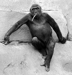 ape-strawinmouth.jpg